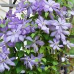 Flowering Vines For Trellises Trumpet Vine